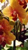 Gelbe rote Orchidee Lizenzfreie Stockfotos