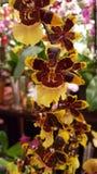 Gelbe rote Orchidee Stockfotografie