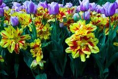 gelbe, rote und purpurrote Tulpen in der klaren Farbaufgabe Stockfotografie