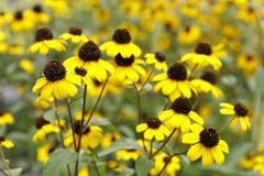Gelbe Rudobekia-Blumen Stockbilder
