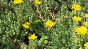 Gelbe saftige orpin Betriebsblumenblüte wächst im Garten stock footage
