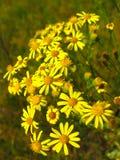 Gelbe schöne Blumen des Johanniskrauts Lizenzfreie Stockbilder