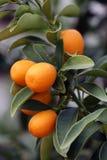 Gelbe schöne Mandarinen, die auf der Niederlassung wachsen Stockfoto