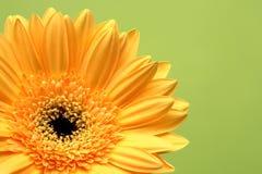 Gelbe Schönheit Lizenzfreie Stockfotos