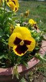 Gelbe Schönheit stockfotos
