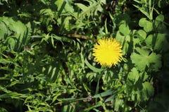 Gelbe sch?ne Blume im Wald lizenzfreies stockbild