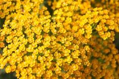 Gelbe Schafgarbe Lizenzfreies Stockfoto
