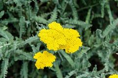 Gelbe Schafgarbe blüht, Grünfeld-Buschanlage, Achillea-millefolium Stockfotos