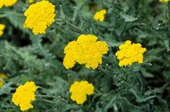 Gelbe Schafgarbe blüht, Grünfeld-Buschanlage, Achillea-millefolium Lizenzfreies Stockfoto