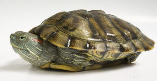 Gelbe Schildkröte Lizenzfreies Stockfoto