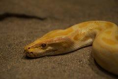 Gelbe Schlange, die durch Sand schleicht Lizenzfreie Stockbilder