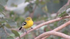 gelbe schwarze Farbe des Vogels wenig einfaches Foto, das auf einer Niederlassung sitzt Lizenzfreies Stockfoto