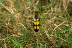 Gelbe schwarze Grasinsekten Stockbild