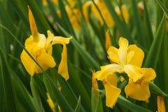 Gelbe Schwertlilie Stockbild