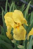 Gelbe Schwertlilie Stockfotos