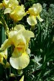 Gelbe Schwertlilie mit Regentropfen auf Blumenblättern Stockbild
