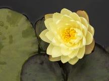 Gelbe Seerose Stockbild