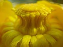 Gelbe Seerose Stockfotos