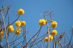 Gelbe silk Baumwollbaumblume auf blauem Himmel in der Tageszeit Lizenzfreie Stockfotos