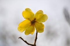 Gelbe silk Baumwollbaumblumen Lizenzfreies Stockfoto