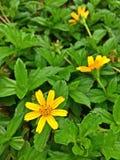 Gelbe Singapur-Gänseblümchen Lizenzfreies Stockbild