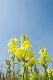 Gelbe Snapdragon Blumen unter blauem Himmel Stockbild
