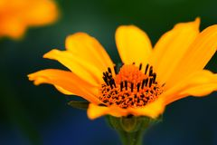Gelbe Sommerblume empfindliche gelbe Blume Lizenzfreies Stockbild