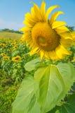 gelbe Sonnenblume Stockbilder
