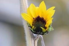 Gelbe Sonnenblume, die 02 öffnet Stockfotos