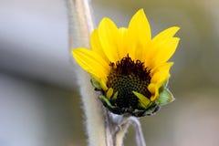 Gelbe Sonnenblume, die 02 öffnet Stockfotografie