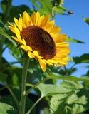 Gelbe Sonnenblume, die im Garten wächst Stockbilder