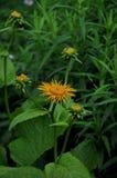 Gelbe Sonnenblume in einem grünen Garten stockbild