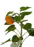 Gelbe Sonnenblume getrennt auf Weiß Stockfotografie