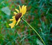 Gelbe Sonnenblume im grünen Hintergrund stockbild