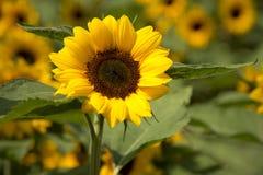 Gelbe Sonnenblume mit anderen auf Hintergrund stockfotografie