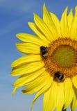 Gelbe Sonnenblume mit Bienen auf blauem Himmel Stockbild
