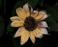 Gelbe Sonnenblume mit den verblaßten sterbenden Blumenblättern Lizenzfreie Stockbilder