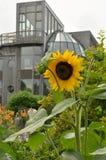 Gelbe Sonnenblume mit grauem modernem Gebäude im Hintergrund Stockfotografie