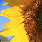 Gelbe Sonnenblume mit zwei Bienen schließen oben Lizenzfreie Stockfotografie