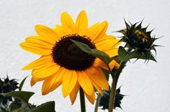 Gelbe Sonnenblume und eine Öffnungsknospe Stockfotografie