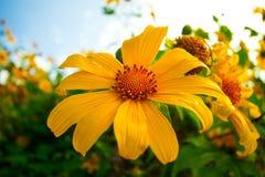 Gelbe Sonnenblume und Sonne stockfotos
