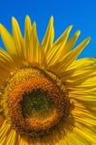 Gelbe Sonnenblume unter einem hellen blauen Himmel Stockfotografie
