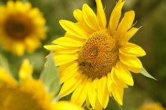 Gelbe Sonnenblume wird durch Bienen bestäubt Lizenzfreies Stockbild