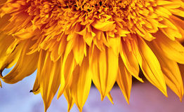 Gelbe Sonnenblumeblumenblätter Lizenzfreies Stockbild