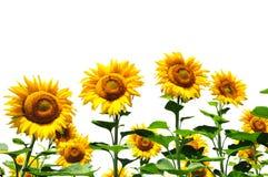 Gelbe Sonnenblumen auf Weiß Stockfotos