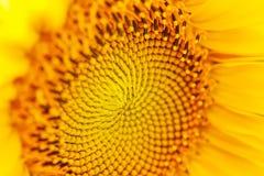 Gelbe Sonnenblumen-Nahaufnahme mit Tropfen Stockfoto