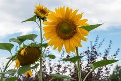 Gelbe Sonnenblumen unter dem blauen Himmel mit weißen Wolken lizenzfreies stockfoto
