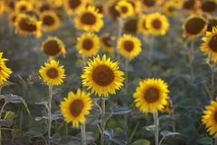 Gelbe Sonnenblumen wachsen auf den Gebieten Lizenzfreies Stockfoto