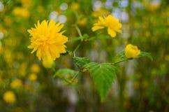 Gelbe sonnige Blumen Stockbild