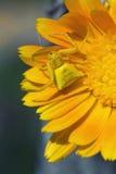 Gelbe Spinne Stockfotos